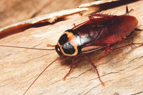 Cockroach Pest Control Services in Mumbai, Thane, Navi Mumbai