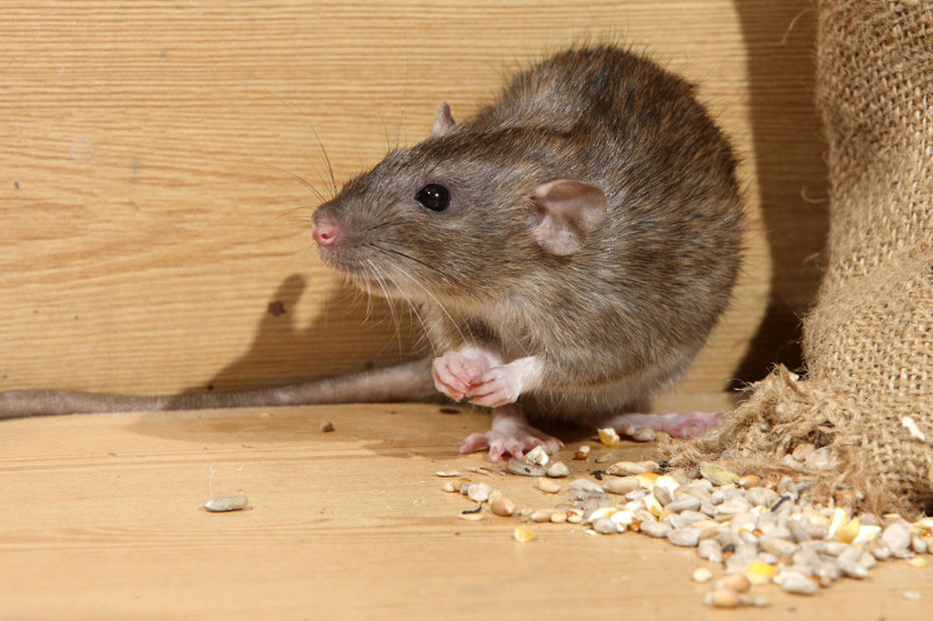 Rodent Control: Steps You Can Do
